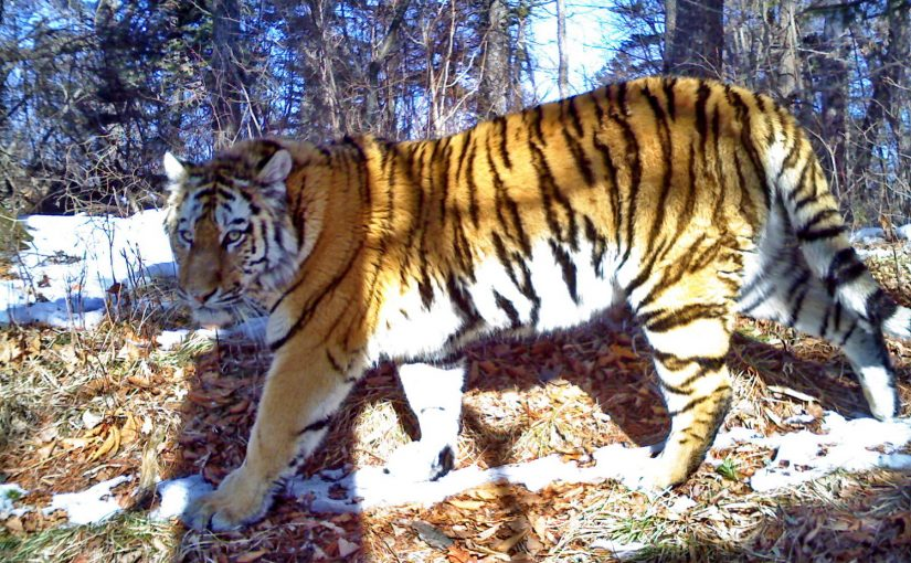 Amur tiger T 40F_Land of the Leopard NP