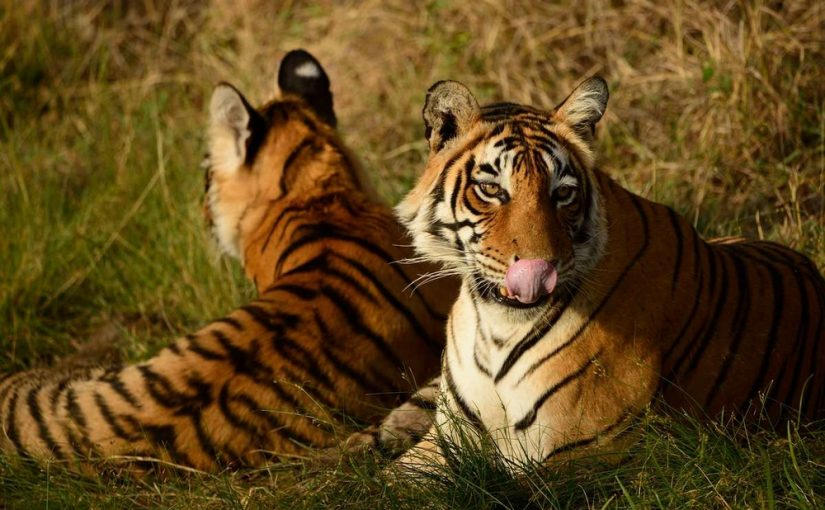 Two wild Bengal tigers (Panthera tigris tigris) in Ranthambore, India
