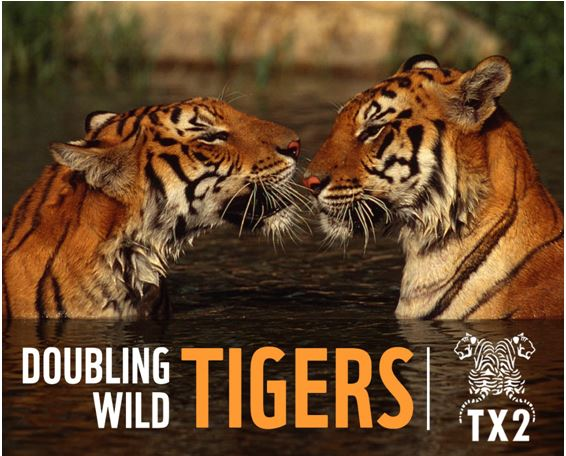 Doubling Wild Tigers